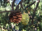 Sequoia cones being tracked for research.